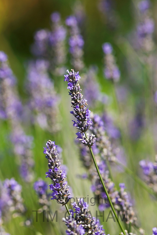 Lavender, The Cotswolds, Oxfordshire, United Kingdom