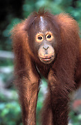 Female Orang Utan at Sepilok Orangutan Rehabilitation Centre, Sandakan, Sabah, Malaysia.