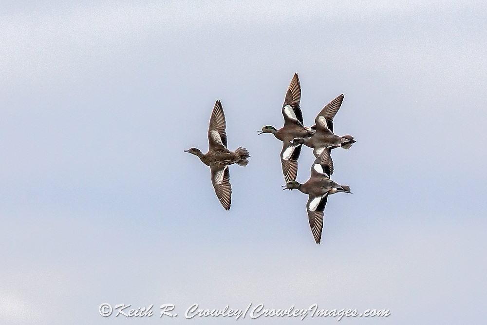 American Wigeon Courtship Flight
