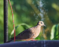 Mourning Dove. Images taken with a Nikon Df camera and 80-400 mm VR II lens.