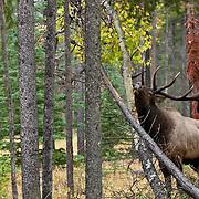 trophy bull wapite elk rubbing anterls on aspen tree in lodge pole pine forest