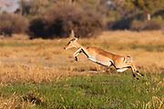 A female impala (Aepyceros melampus) leaping over water in a marsh, Moremi,  Botswana