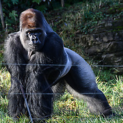 Lions, gorillas and camels enjoy festive treats Advent-ures this Christmas at ZSL London Zoo on 20 December 2018, London, UK.