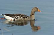 Greylag Goose, Anser anser, Stodmarsh National Nature Reserve, UK, swimming, open water, adult, winter