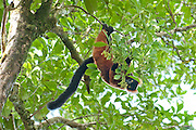 Red Ruffed Lemur, Varecia variegata ruber, feeding on fruit in tree, Masoala National Park, Madagascar, largest of the island's protected areas, UNESCO World Heritage Site, Masoala peninsula is exceptionally diverse due to its huge size, and variety of habitats, Lemur critically endangered on IUCN Red Data List