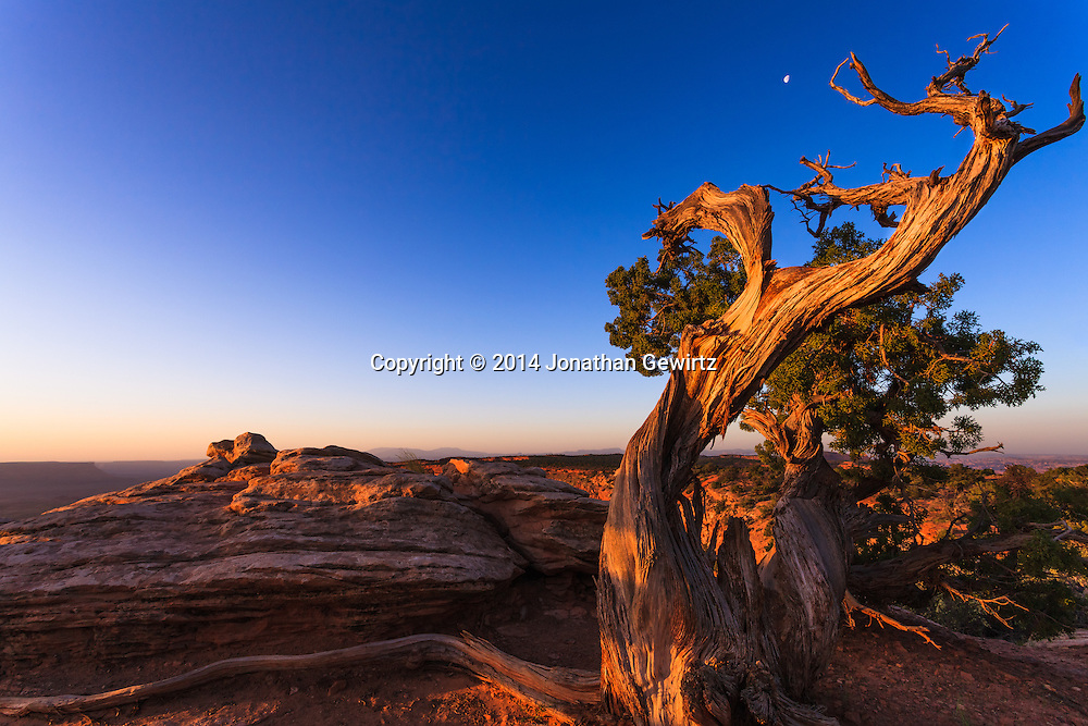 The moon sets at sunrise behind a gnarled pine tree in the desert highlands of Canyonlands National Park, Utah.<br /> <br /> WATERMARKS WILL NOT APPEAR ON PRINTS OR LICENSED IMAGES.<br /> <br /> Licensing: https://tandemstock.com/assets/77728575