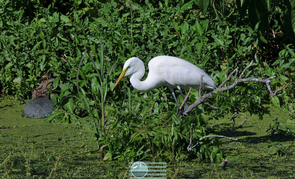 The Great Egret and the smaller Snowy Egret of the Texas Gulf Coast are photographed in thier natural enviroment and feeding areas.