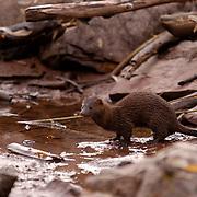 Mink (Mustela vison) Adult fishing in small muddy pond near Aspen, Colorado. Fall.
