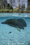 Florida manatees, Trichechus manatus latirostris, Three Sisters Spring, Crystal River, Florida, USA, North America