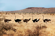 Flock of ostriches, Inselbergen – island mountains in the south of Namibia