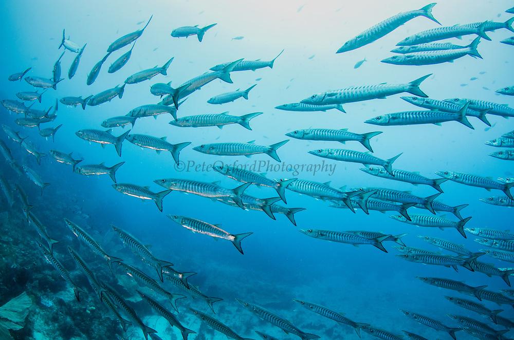 Blackfin Barracuda (Sphyraena qenie)<br /> Raja Ampat<br /> West Papua<br /> Indonesia