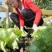 NLD/Huizen/20080521 - 1e sla word geoogst voor de voedselbank Noord Gooiland volkstuinencomplex Huizen