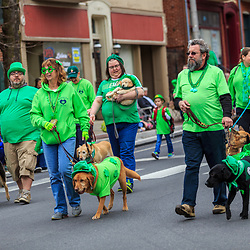York, PA / USA - March 12, 2016: Dogs wearing green walk the route of the annual Saint Patrick's Day Parade.