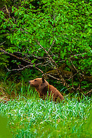 Coastal Brown Bear, Freshwater Bay, Chichagof Island, Inside Passage, Southeast Alaska USA.