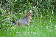 01867-00105 Gray Fox (Urocyon cinereoargenteus) female in field, Holmes Co, MS