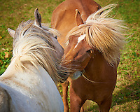 Pair of Icelandic Horse on a Summer Pasture. Heimaey Island Vestmannaeyjar (Westman) in Iceland. Image taken with a Nikon D4 camera and 80-400 mm VRII lens (ISO 100, 185 mm, f/7, 1/200 sec). Nikonians Iceland Photo Adventure.