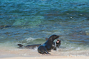 Hawaiian monk seals, Monachus schauinslandi, Critically Endangered endemic species, a 7-year-old male (RI11) in front scuffles with a female (R318), behind, at Beach 4 on west end of Molokai, Hawaii ( Central Pacific Ocean )