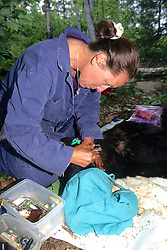 Kris Timmerman Working On Black Bear