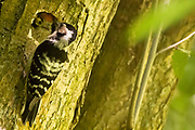 Lesser spotted woodpecker mother (Dendrocopos minor) and chick at nest hole. Surrey, UK.