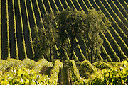 a small group of trees in a field with grapevines South France Languedoc Razes