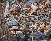 White-throated Sparrow. Image taken with a Nikon D3x camera and 80-400 mm VR lens (ISO 400, 400 mm, f/8, 1/250 sec).