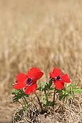 poppy anemone or Spanish marigold (Anemone coronaria) Israel