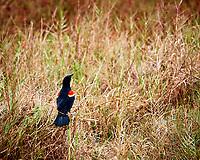 Red-winged Blackbird. Biolab Road, Merritt Island National Wildlife Refuge. Image taken with a Nikon D3s camera and 80-400 mm VR len (ISO 200, 380 mm, f/5.6, 1/320 sec).