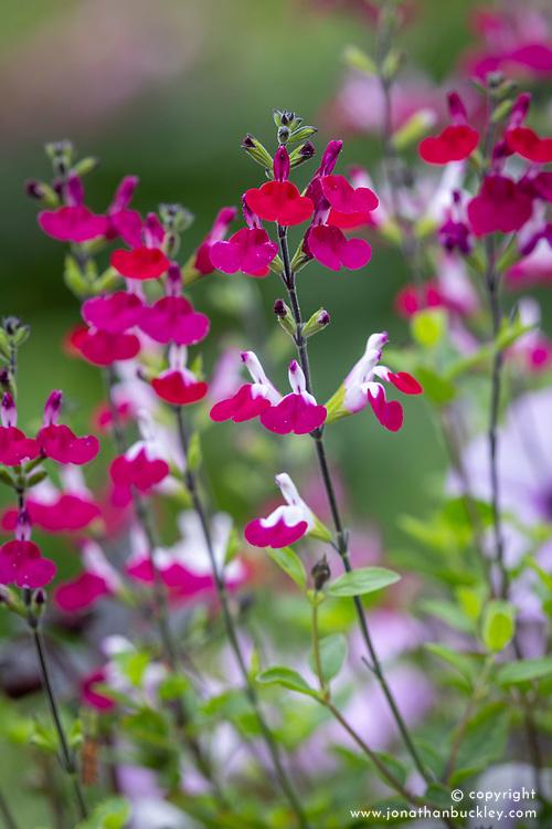 Salvia greggii 'Cherry Lips'