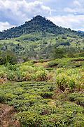 Mountainous landscape at Sabah Tea Plantation (tea bushes in foreground), Ranau, Sabah