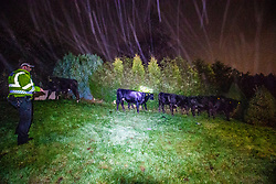 05NOV20 Eight cattle wander round our back garden at 2am this morning.