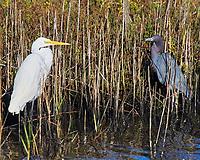 Snowy Egret (Egretta thula), Little Blue Heron (Egretta caerulea). Black Point Wildlife Drive. Merritt Island National Wildlife Refuge. Image taken with a Nikon D3 camera and 70-200 mm f/2.8 VR lens.