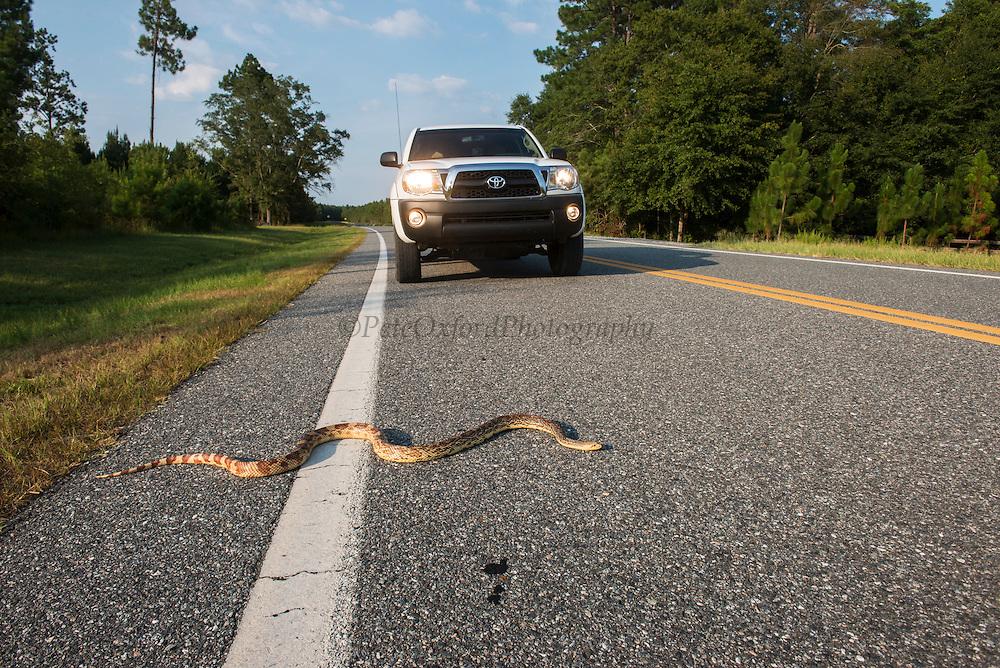 Florida Pine Snake (Pituophis melanouecus mugitus) on road<br /> The Orianne Indigo Snake Preserve<br /> Telfair County. Georgia<br /> USA<br /> HABITAT & RANGE: Pine-oak woodlands, longleaf pine forests and sandhills of Florida, Alabama, Georgia and South Carolina.<br /> IUCN STATUS: Special Concern