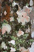 Various Lichen on Tree trunk in jungle, Panama, Central America, Gamboa Reserve, Parque Nacional Soberania