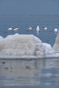 A group of mute swans (Cygnus olor) feeding in blue and icy sea near the rocky shore with few distant stones completly covered in ice in front of them, Kaltene Seacoast, Kurzeme, Latvia Ⓒ Davis Ulands | davisulands.com