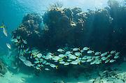 Horse-eye Jack (Caranx latus) & Chub (Kyphosus sectatrix)<br /> Hol Chan Marine Reserve<br /> Belize Barrier Reef<br /> near Ambergris Caye and Caye Caulker<br /> Belize<br /> Central America