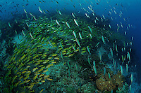 A school of fusiliers crosses above a massive school of snappers over a coral reef in the Raja Ampat Islands, Indonesia.