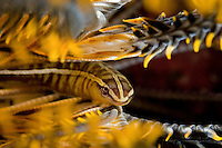 Crinoid Clingfish portrait