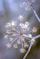 Frost on fennel seed heads in winter. Foeniculum vulgare