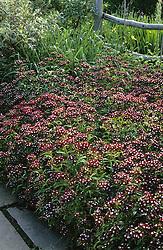 Dianthus barbatus in the High Garden at Great Dixter. Sweet william