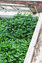 Mint planted in coldframe to stop it running. Mentha
