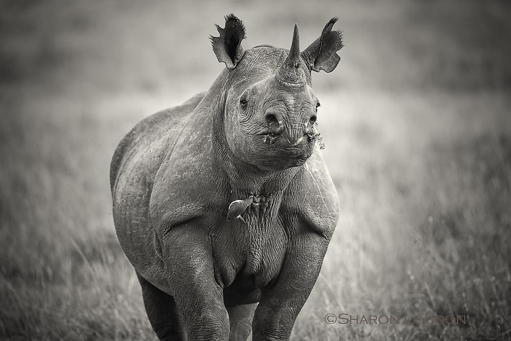 Black rhino cow