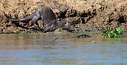 Giant river otter (Pteronura brasiliensis) entering the Cuiaba River, Pantanal, Brazil.