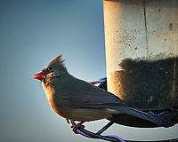 Female Northern Cardinal. Image taken with a Nikon D5 camera and 600 mm f/4 VR lens (ISO 1600, 600 mm, f/4, 1/1000 sec).