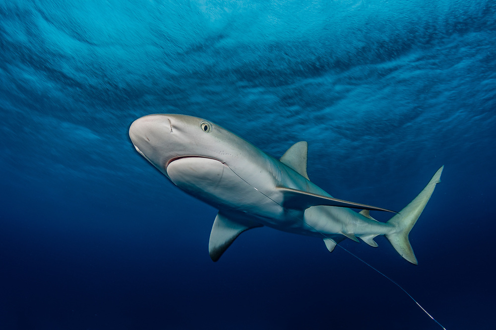 A Caribbean reef shark (Carcharhinus perezii) with a wire leader hanging from her mouth off New Providence, Bahamas. Sharks are often observed with hooks, scars or other evidence of encounters with fisherman. It has been illegal to catch sharks in The Bahamas since 2011.