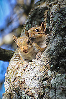 A pair of baby gray squirrels peeks from their nest in the Florida Everglades. Gray squirrels are perhaps the most adaptable and hardy of all modern squirrel species, and can thrive in the most diverse kinds of habitat. Not only increasing their range in North America, but are beginning to spread into other continents too, wiping out or displacing native populations.