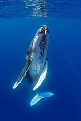 humpback whale, ballet dancing, Megaptera novaeangliae, note parasitic acorn barnacles, Cornula diaderma, Hawaii, Pacific Ocean