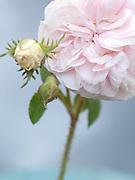 Rosa 'Félicité Parmentier' - Alba x Damask rose (1834)