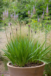 Agapanthus in pot with Veronica virginicum 'Temptation' in the background
