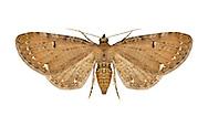 70.182 (1832)<br /> Currant Pug - Eupithecia assimilata