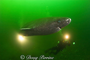 Greenland sleeper shark, Somniosus microcephalus<br /> and divers, St. Lawrence River estuary, Canada<br /> (this shark was wild & unrestrained; it was not hooked<br /> and tail-roped as in most or all photos from the Arctic)<br /> MR 373, 374